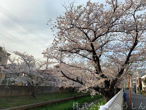渋川桜まつり@中原区、元住吉、2020年春